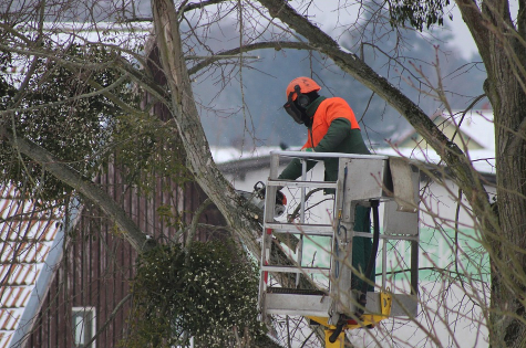 this image shows fountain valley tree pruning