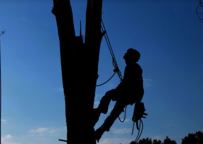 this image shows tree cabling in fountain valley ca
