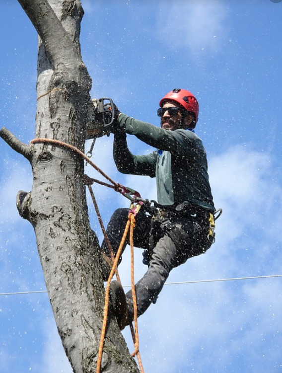 This i a picture of tree cabling and bracing service in Fountain Valley, CA.